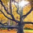 Huge tree and the sun in autumn — Stock Photo #33214605