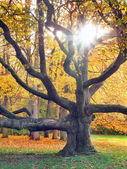 Huge tree and the sun in autumn — Stock Photo