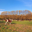 Stock Photo: Cows on field in autumn