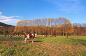 Cows on field in autumn — Stock Photo
