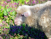 Lamb portrait on flowers background — Stock Photo