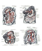 4 Views of the human torso, muscles and internal organs — Foto de Stock