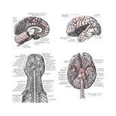 4 Views of the human brain — Foto de Stock