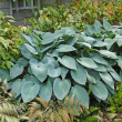 Stock Photo: Hostas and ferns