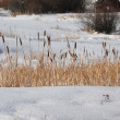 Winter, dried cattails - Stock Photo