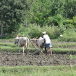 Stock Photo: Indifarmer plowing with bullocks
