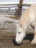 Large white draft horse — Stock Photo