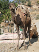 Camel patiently waits — Stock Photo
