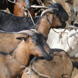 Goats at weekly market — Stock Photo #13319842