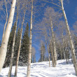 Winter aspens in snowfields in Colorado hills — Stock fotografie
