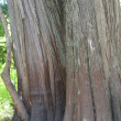 Distinctive bark of a huge trunk - Stock Photo