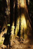 Distinctive bark of a huge trunk — Stock Photo