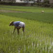 Man tending rice paddy — Stock Photo