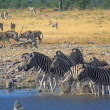 Herd of zebra enter a water hole - Stock Photo