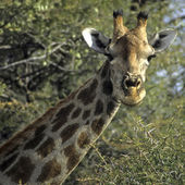 Giraffe hoofd — Stockfoto