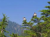 Gray Jay (Perisoreus canadensis) empoleirado numa árvore do abeto — Fotografia Stock