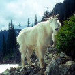 Curious Mountain goats, — Stock Photo