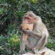 Old, white haired female rhesus monkey — Foto de Stock