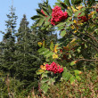Red berries on mountain ash, — Stock Photo