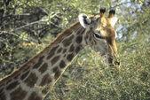 Giraffe head with acacia thorn tree — Stock Photo