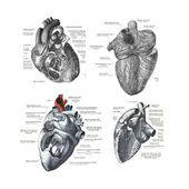 4 views of the human heart — Stock Photo