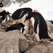Gentoo penguin rookery, nesting on rocks, — ストック写真
