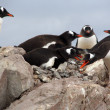 Gentoo penguin rookery, nesting on rocks, — Stock Photo