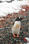 Gentoo penguin, on rocky beach — Foto Stock