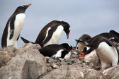 Gentoo penguins, nesting and bickering — Stock Photo