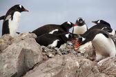 Gentoo 企鹅兽类,在岩石上筑巢, — 图库照片
