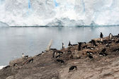 Gentoo penguin rookery, nesting on rocks, — Stockfoto