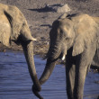 Young elephants sparring  — Stock Photo
