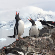 Exhaltation - ecstatic display of gentoo penguins, — Стоковая фотография