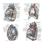 4 views of the heart and thoracic cavity, — Stock Photo