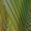 Detail, interlaced branches of a fan palm — Stock Photo