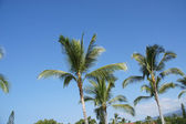 Coconut palms against clear blue skies — Stock Photo