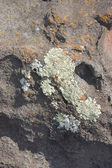 Lichen on old lava flow, — Stock Photo