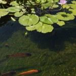Koi carp swimming in shallow pool — Stock Photo #18243019