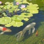 Koi carp swimming in shallow pool — Stock Photo #18243021