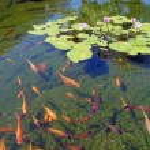 Koi carp swimming in shallow pool — Stock Photo #18243025