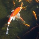 Koi carp swimming in shallow pool — Stock Photo #18243041