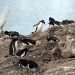 Stock Photo: Gentoo penguin rookery, nesting on rocks,