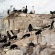 Cormorants co habiting with gentoo penguins, nesting on cliffs. — Stock Photo #18243589
