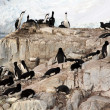 Cormorants co habiting with gentoo penguins, nesting on cliffs. — Stock Photo