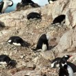 Cormorants co habiting with gentoo penguins, nesting on cliffs. — Stock Photo #18243593