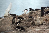 Gentoo penguin rookery, nesting on rocks, — Stok fotoğraf