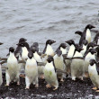Flock of Adelie penguins, coming out of the wate — Stock Photo