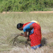 Indian woman  uses a sickle to harvest sesame seed — Stock Photo