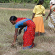 Indian women  harvest sesame seed - Stock Photo