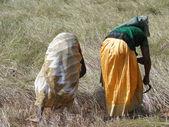 Indiase vrouwen in veld oogsten sesamzaad — Stockfoto